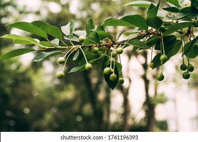 Unripe green cherry fruits growing on tree on blurry nature background. Young, green cherries on tree branch. Prunus avium.