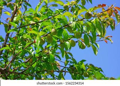 Unripe green fruit on a peach tree (prunus persica)