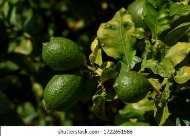 """Limones verdes desmaduros en un limón afectado por la plaga de """"cítrico africano psicoide"""" (Trioza erytreae)."""