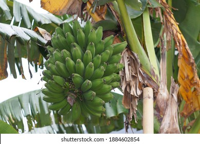 Unripe and green of Saba bananas on the tree