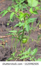 Unripe Green Tomatoes on Healthy Lush Plants in a Home Vegetable Garden. Tomato plants are supported by sturdy metal cages lined up in rows mulched with golden straw growing in the outside sun.