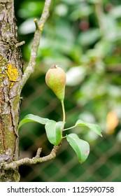 unripe growing pear upside down