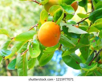 unripe kaki fruits close up