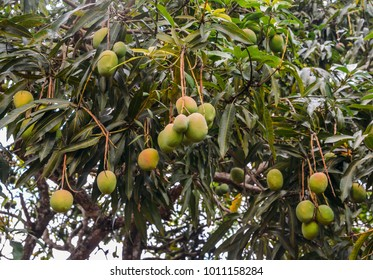 Unripe mangoes on a tree in Brazil, captured in Inhotim, Minas Gerais