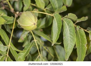 Unripe Pecan Nut (Carya illinoinensis)