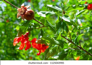 Unripe pomegranate on the tree and flowers