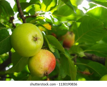 Unripe and ripe apple on the tree branch.
