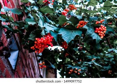 Unripe rowan berries hang in heavy clusters under the roof of a brick house.