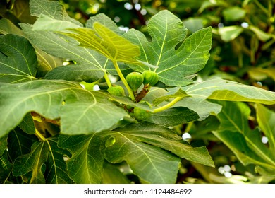 Unripe small figs growing on the tree. Close-up.