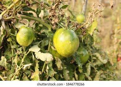 Unripe vegetables hanging on stakes - green tomatoes
