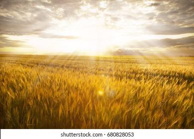 unripe wheat field at sunset in village