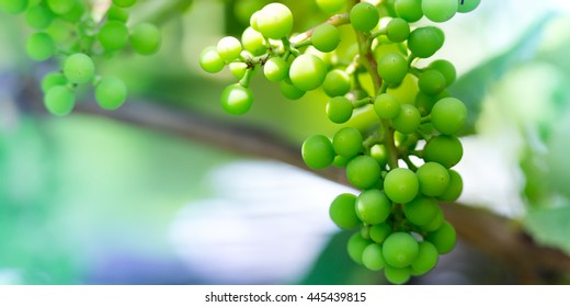 Unripe white grapes in a vineyard, Natural background