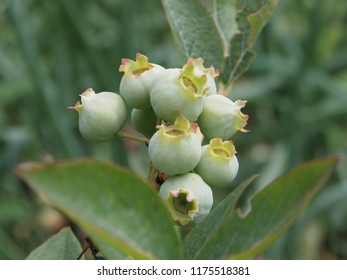 Unripened Blueberries view