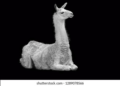 The unruffled lama in black and white