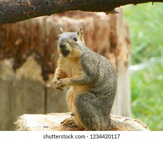 An unsuspecting squirrel looks up as if he had stolen someone else's acorn and is unaware what to do about the situation.