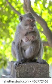 Until a monkey in a landscape Padang Padang Beach Bali Indonesia.
