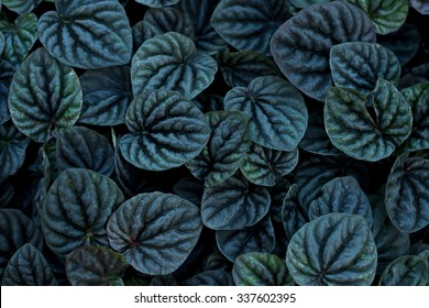 Unusual  Beautiful Dark black leaves texture for background, Emerald Ripple Peperomia
