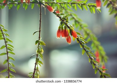 Unusual beautiful red flowers Agapetes serpens on a branch with foliage on a blue background