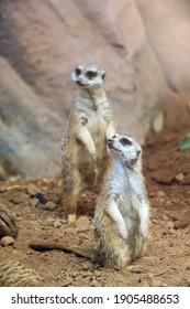 Unusual brown meerkat funny vigilant suricates standing on sand  on duty and looking around in the zoo on the canary island of Tenerife in spain