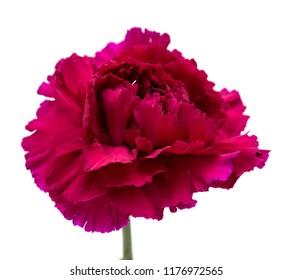unusual dark purple carnation flower isolated on white background