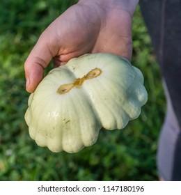 Unusual double Turk's Turban squash just picked, in closeup