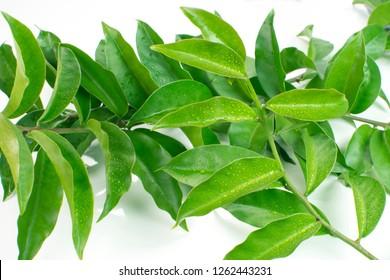 Unusual edible plant Pereskia aculeata, called in Brazil as ora-pro-nóbis in white background
