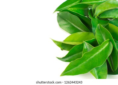 Unusual edible plant Pereskia aculeata, called in Brazil as ora-pro-nóbis in white background in the side of the frame