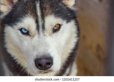 Unusual eye heterochromia. Different eyes have Husky. An unusual dog. Portrait of a Husky puppy