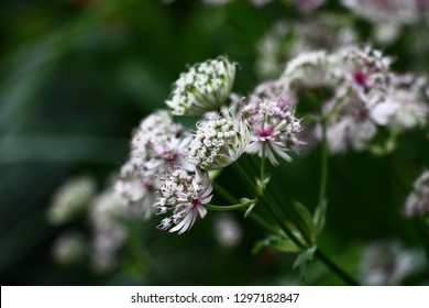 Unusual flowers astrantia with narrow petals of white color on a green background.