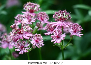Unusual flowers astrantia with narrow petals of white-pink color on a green background.