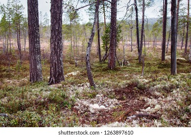 Unusual for geese nest in forest. Forest-breeding bean goose (Anser fabalis fabalis) nest is arranged in old pine forest on top of moraine among white deer moss. Lapland. Camera shows nesting station
