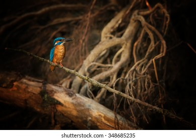 Unusual image of Common Kingfisher Alcedo atthis perched in the shade of riverbank on twig with large twisted roots in background. Lit by very late evening sun, magical atmosphere.