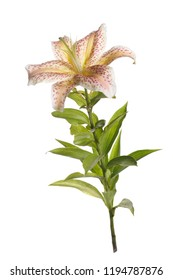 Unusual lily flower in pink specks isolated on white background.