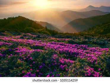 unusual nice scenery,  picturesque spring flowering of magic pink rhododendrons in Carpathian mountains,  majestic spring morning sunshine , Ukraine landscape, Europe