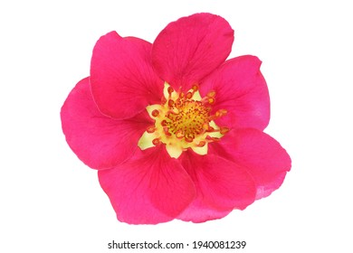 Unusual pink strawberry flower isolated on white. Full depth of field, high dynamic range, high resolution