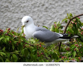Unusual Sight of a Seagull Gone Vegetarian in a Bush with Red Blossoms