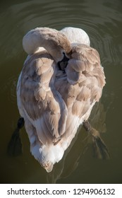 unusual view from above swan cygnet