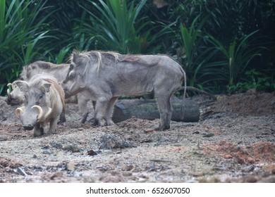 Unusual wild boar, Singapore, south east Asia