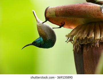 Unusual,Green-headed Sunbird,Cyanomitra verticalis,african nectar feeding bird,glossy, green head,yellow body,hanging upside down on banana flower in hot african day.Abstract light green background.