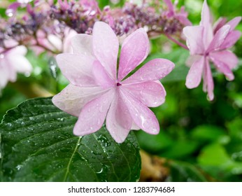 Unusually shaped beautiful purple hydrangea flower under the rain in a traditional Japanese garden