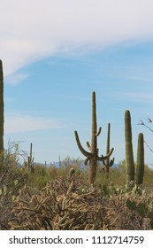 An unusually shaped Saguaro cacti in a desert landscape filled with a variety of cacti on the Desert Discovery Nature Trail in Saguaro National Park, Tuscon Mountain District, Arizona, USA