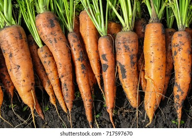 unwashed carrots on the ground
