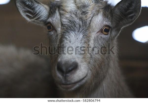 Up-close goat. Goat's eyes. Goat in a burn. Portrait.Farm
