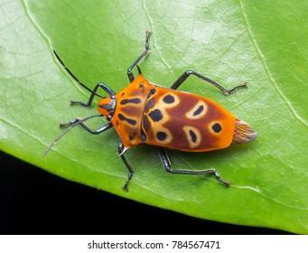upclose macro of sheild bug / assasin bug on green leaf.Macro photogphy.