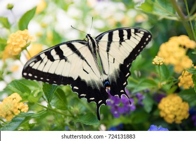 Up-close photo of a yellow and black butterfly on yellow and purple flowers.
