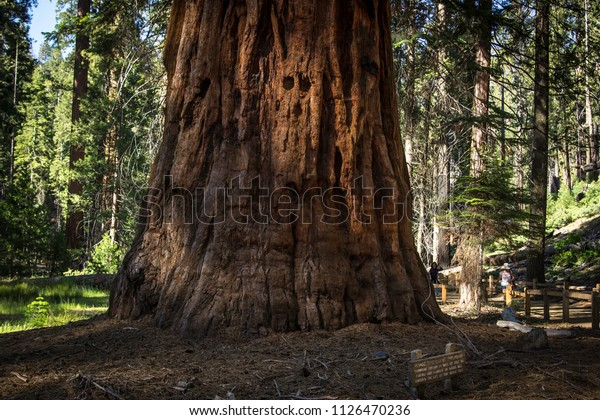 An upclose picture of a Giant Sequoia tree trunk in Mariposa Grove at Yosemite National Park.