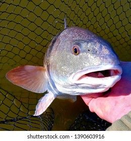 Up-close shot of a redfish held by fisherman