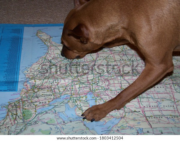 Upholland, Lancashire, UK, 26/08/2020: dog looking at Tennessee on a map