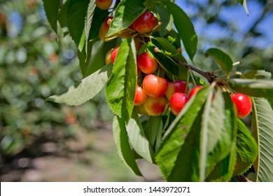 U-Pick Cherry trees at Vernon, Okanagan