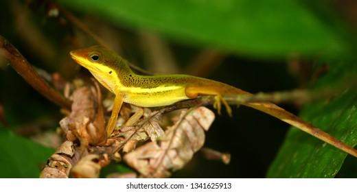 Upland Grass Anole (Anolis krugi) hides amongst vegetation in  the El Yunque Rainforest of Puerto Rico